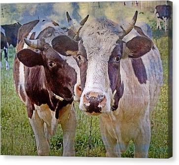 Cow Duo Canvas Print by Marty Koch