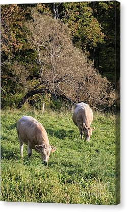 Cows Grazing In A Field Etna Nh Canvas Print by Edward Fielding