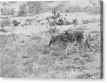 Coyote Blending In Canvas Print by Christine Till