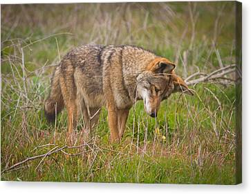 Coyote Canvas Print by Carl Jackson