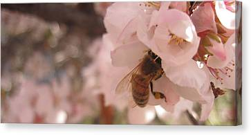 Crab Apple Bee Canvas Print by Luke Cain