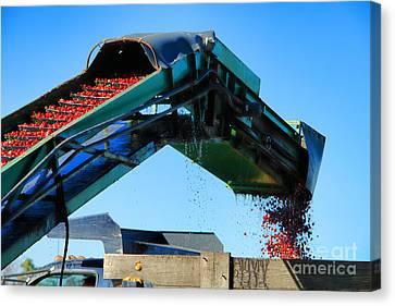 Cranberry Conveyor Canvas Print by Olivier Le Queinec