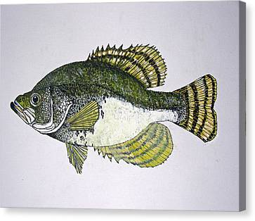 Crappie Fish Of Usa  Canvas Print by Don Seago