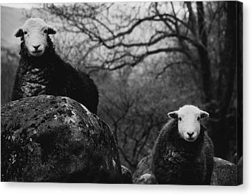 Creep Sheep Canvas Print by Justin Albrecht