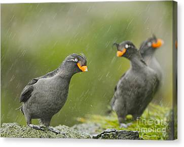 Crested Auklets Canvas Print by Desmond Dugan/FLPA