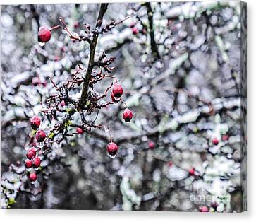 Crimson Berries In Winter Canvas Print by Lexa Harpell