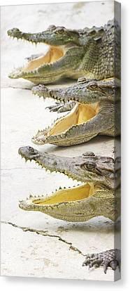 Crocodile Choir Canvas Print by Jorgo Photography - Wall Art Gallery