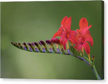 Crocosmia Canvas Print by Angie Vogel