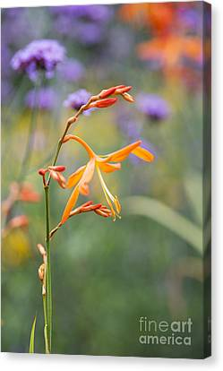 Crocosmia Golden Ballerina Canvas Print by Tim Gainey