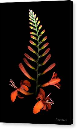 Crocosmia Canvas Print by Richard Wilhelm
