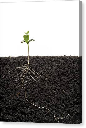 Cross-section Of Soybean Seedling Canvas Print by Mark Thiessen