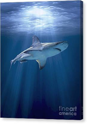 Cruising Shark Canvas Print by Liz Molnar