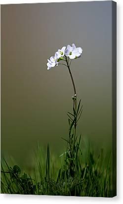 Cuckoo Flower Canvas Print by Ian Hufton