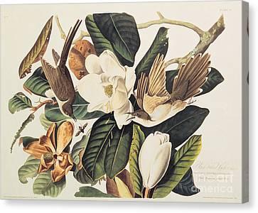 Cuckoo On Magnolia Grandiflora Canvas Print by John James Audubon