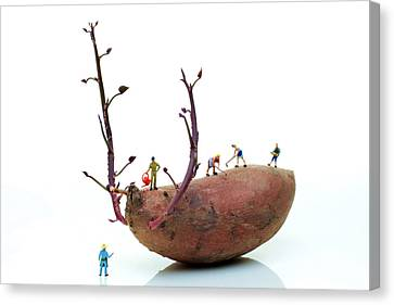 Cultivation On A Sweet Potato Canvas Print by Paul Ge