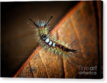 Curious Caterpillar Canvas Print by Mariola Bitner