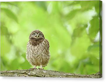 Curious Little Owl Chick Canvas Print by Roeselien Raimond