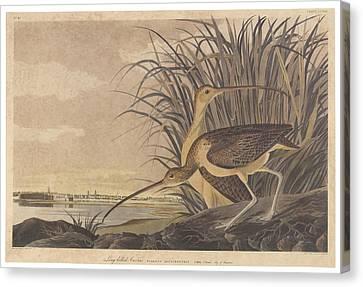 Curlew Canvas Print by John James Audubon