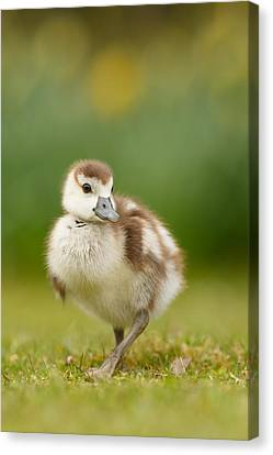 Cute Gosling Canvas Print by Roeselien Raimond