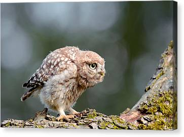 Cute Little Owlet Canvas Print by Roeselien Raimond