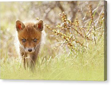 Cute Overload - Baby Fox Kit Canvas Print by Roeselien Raimond