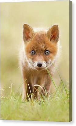 Cute Overload - Red Fox Kit Canvas Print by Roeselien Raimond