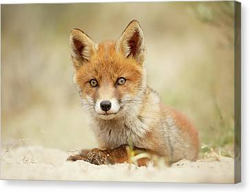 Cute Red Fox In Chill Modus Canvas Print by Roeselien Raimond