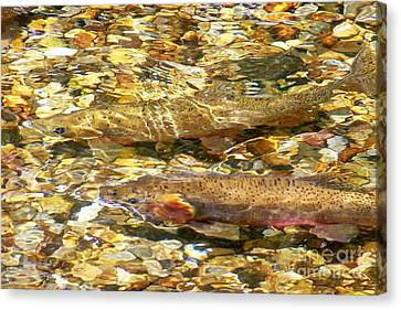 Cutthroat Trout In Clear Mountain Stream Canvas Print by Greg Hammond