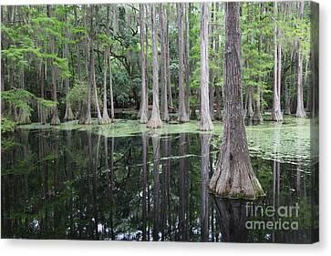 Cypress Swamp Canvas Print by Carol Groenen
