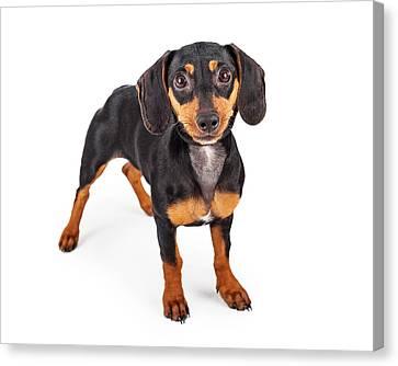 Dachshund Puppy Dog Standing Lookng Forward Canvas Print by Susan  Schmitz