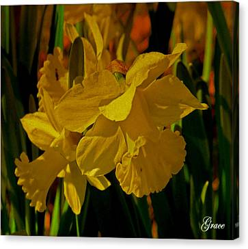 Daffodil Dance Canvas Print by Julie Grace