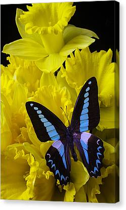 Daffodil With Blue Black Butterfly Canvas Print by Garry Gay