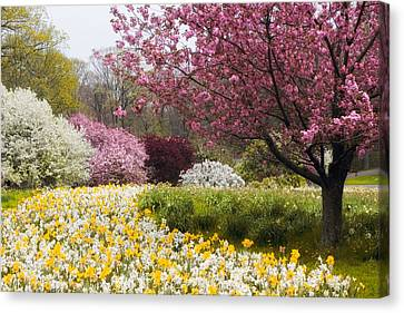Daffodils And Crabtrees Canvas Print by Jessica Jenney