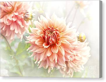 Dahlia 'fairway Spur' Canvas Print by Jacky Parker