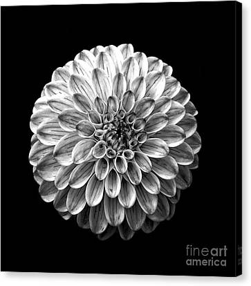 Dahlia  Flower Black And White Square Canvas Print by Edward Fielding