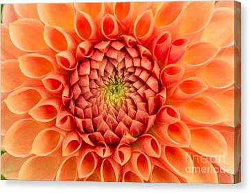 Dahlia Oakwood Naranga Canvas Print by Tim Gainey