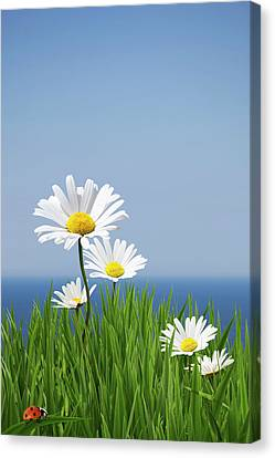 Daisies On A Cliff Edge Canvas Print by Andrew Dernie