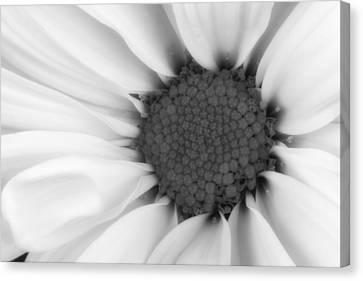 Daisy Flower Macro Canvas Print by Tom Mc Nemar