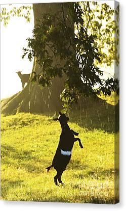 Dancing In The Rain Canvas Print by Thomas R Fletcher