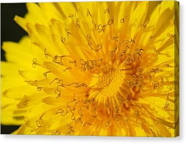 Dandelion Canvas Print by Jaroslaw Grudzinski