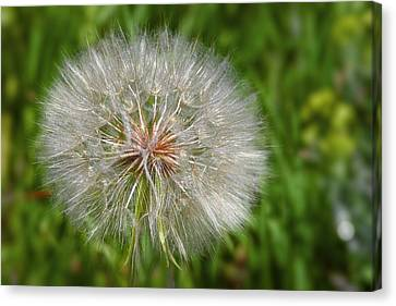Dandelion Puff - The Summer Queen Canvas Print by Christine Till