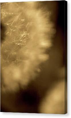 Dandelion-sepia Canvas Print by Sue OConnor