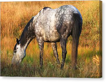 Dapple Grey Canvas Print by Donna Kennedy