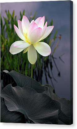 Dawning Lotus Canvas Print by Jessica Jenney
