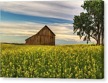 Dazzling Canola In Bloom Canvas Print by Mark Kiver