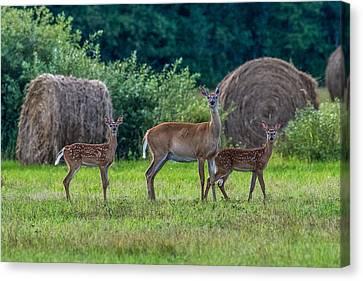 Deer In A Hay Field Canvas Print by Paul Freidlund