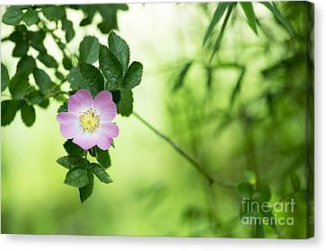 Delicate Dog Rose Canvas Print by Tim Gainey