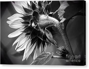 Demure Elegance Canvas Print by Becky Kurth