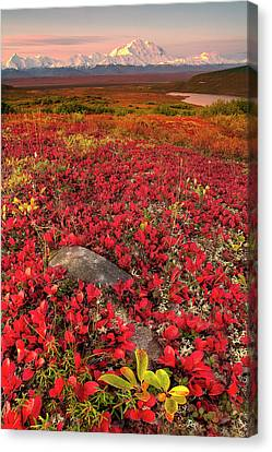Denali National Park Fall Colors Canvas Print by Kevin McNeal