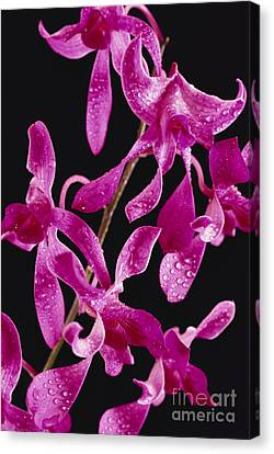 Dendrobium Orchids Canvas Print by Carl Shaneff - Printscapes
